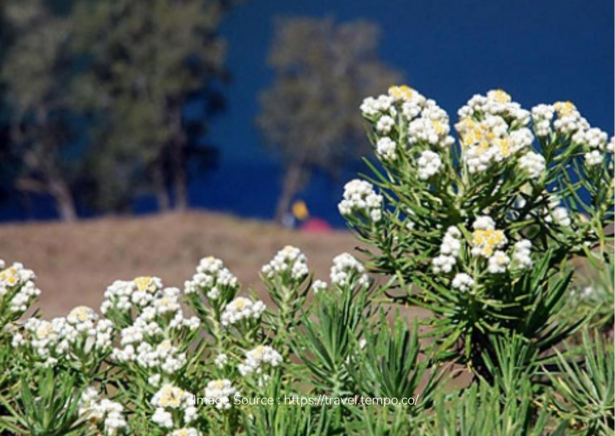 Mengenal Desa Wisata Edelweis Wonokitri, Bisa Bawa Pulang Bunga Abadi!
